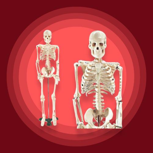 Mr. Thrifty Model Skeleton