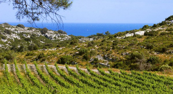 Vineyard of Vignerons Proprietes Associes, producer of Pierres Blanches Cabernet Sauvignon 2020. Rows of vines in rocky terrain close sloping down to the ocean.