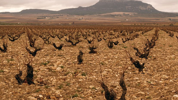 Vineyard of Bodegas Antonio Candela producer of Parcelica Chica Yecla by 2019.