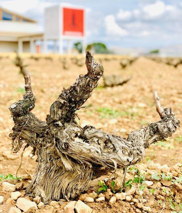 Ancient vine at the vineyard of  Señorío De Barahonda 2019, producer of Carro.