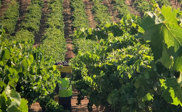 Angels & Cowboys vineyard, producer of Proprietary Red2018