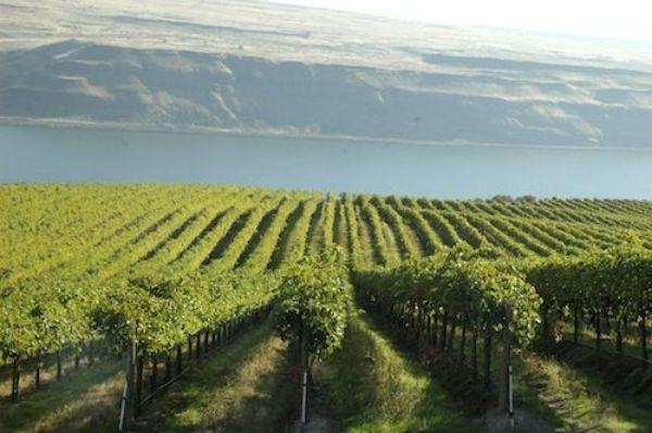 Nicholas Pearce vineyard sloping to lake with mountain range in background.