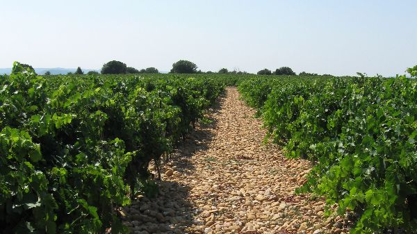 Photo of Crous St Martin vineyard, producer of Châteauneuf-du-Pape 2019.