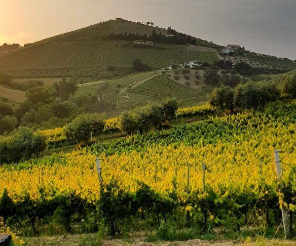 Vineyard of Tenuta Del Priore, producer of Campotino Montepulciano D'Abruzzo Doc 2020.