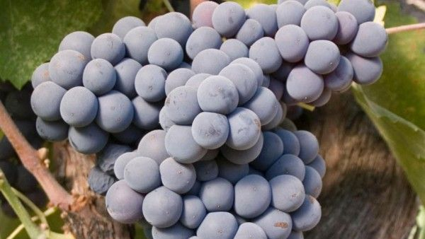 Photo of bunch of purple grapes on the vine.