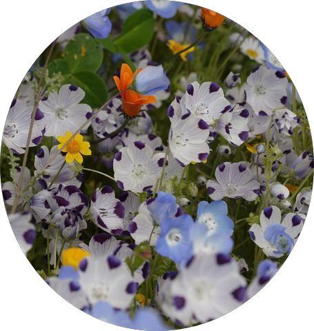 Alternative Lawn Wildflower Mix