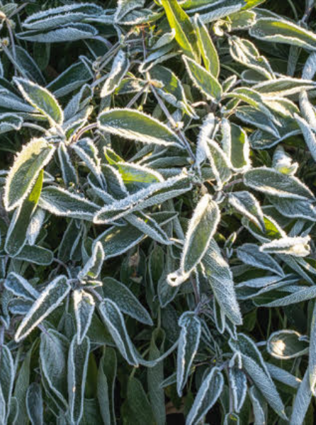 West Coast Seeds Frosted Sage Plant