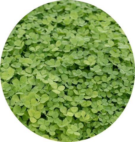 Micro Clover Lawn Seeds