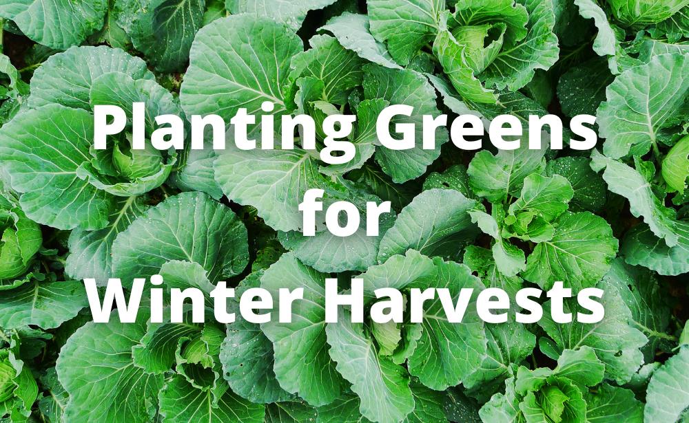Planting Greens for Winter Harvests
