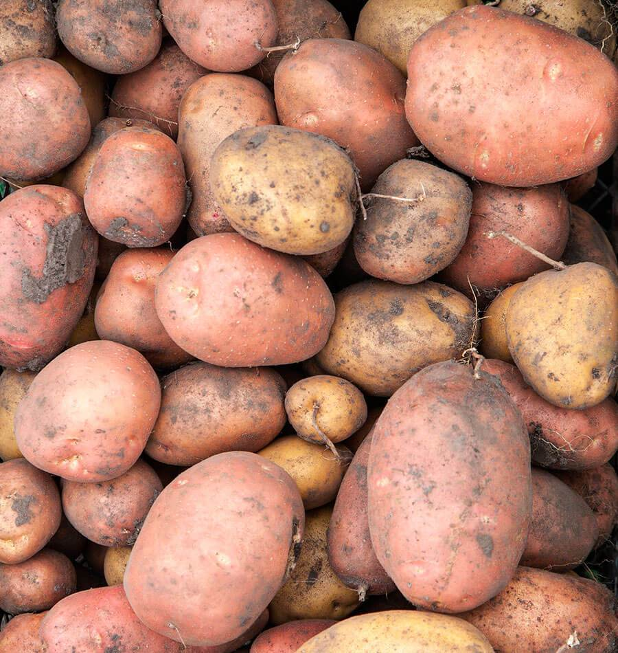 When to Harvest Potatoes Article
