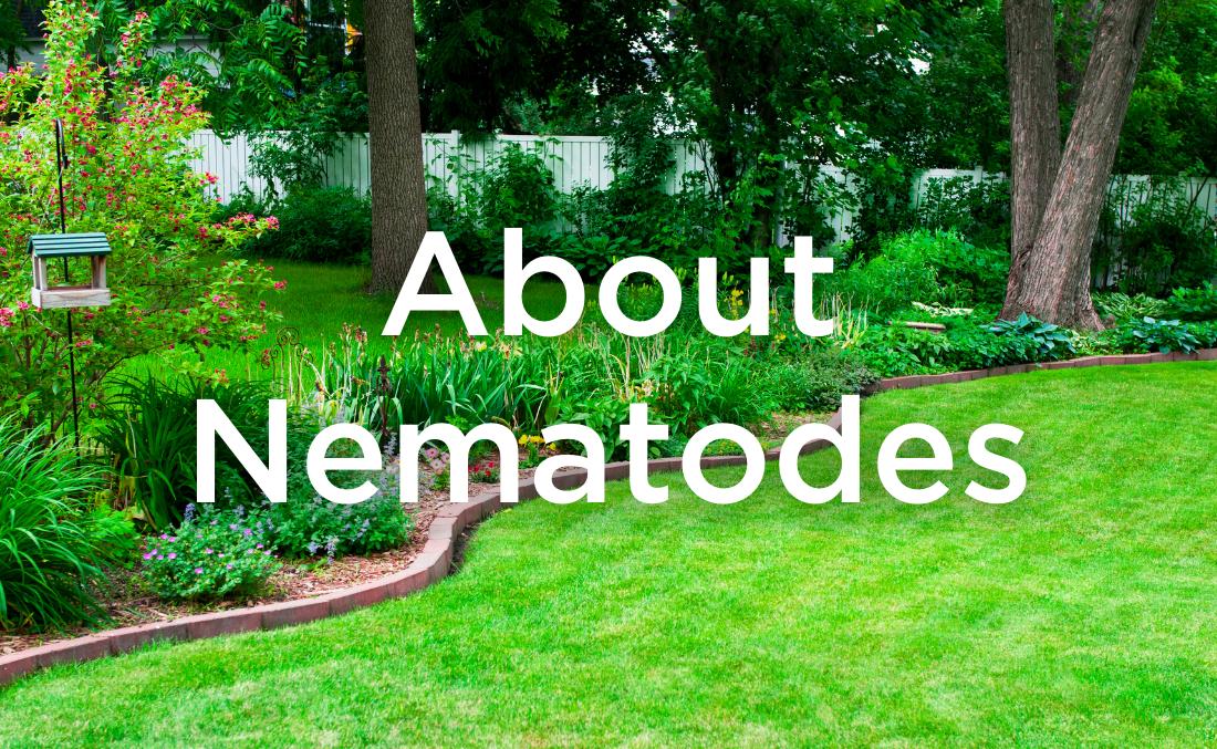 About Predatory Nematodes