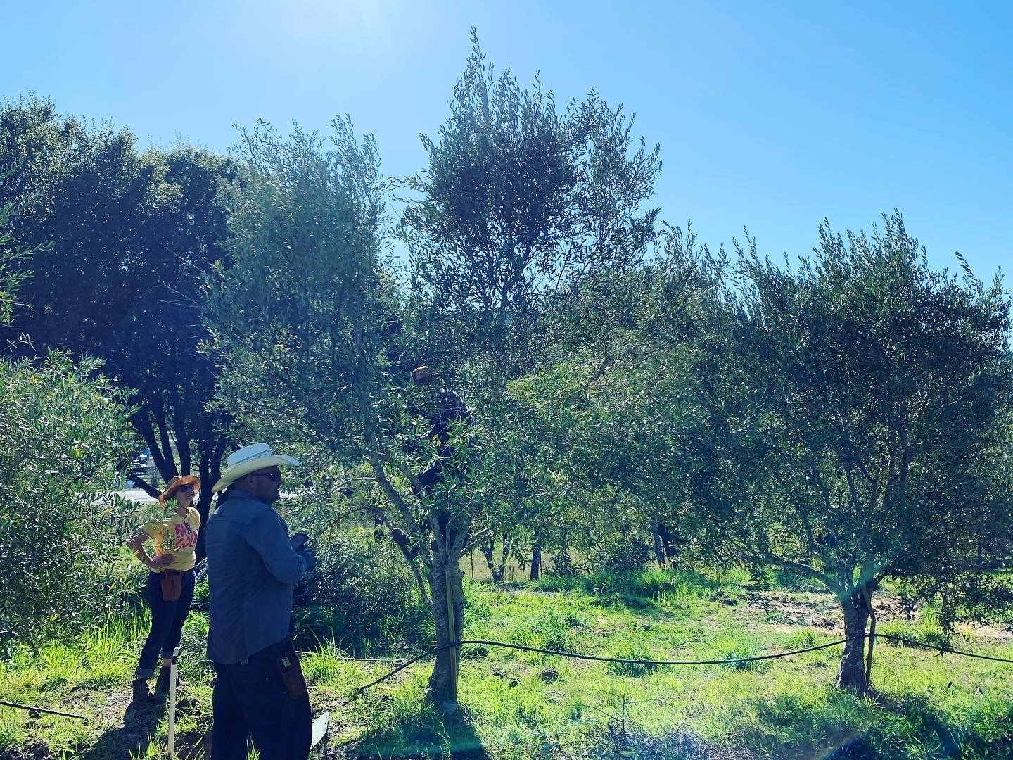 olive trees pruning