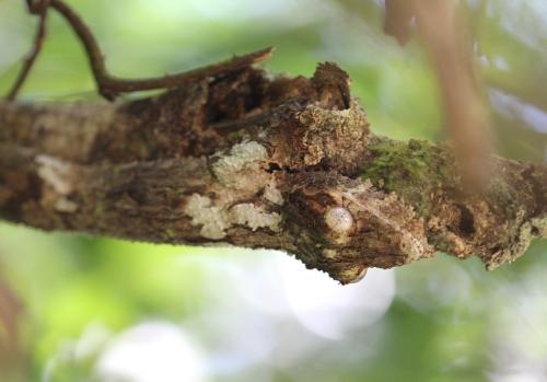 mossy-gecko-uroplatus