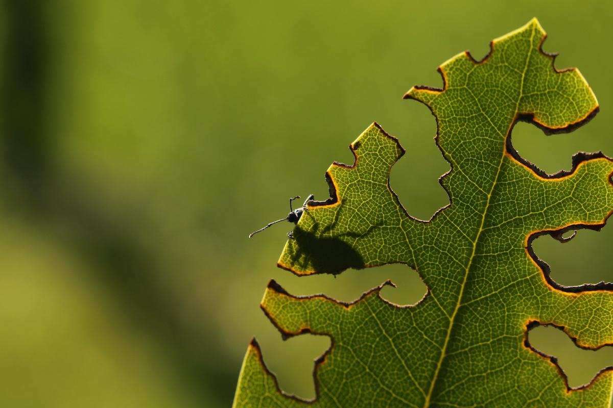 Vine Weevil help