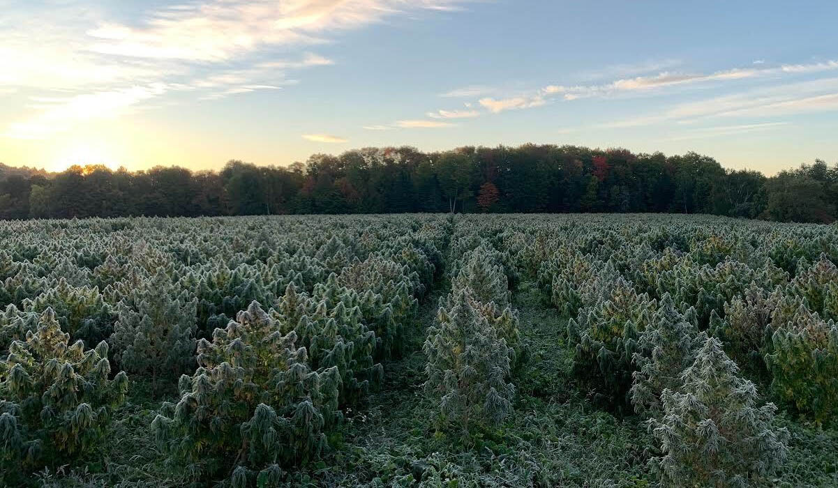 Frosty hemp plants